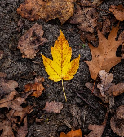 Gelbes Blatt. Herbst. Grunewald.